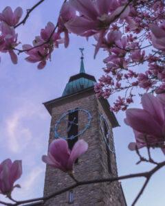 Magnolienblüten mit einem Teilausschnitt des Klosterturms und blauem Morgenhimmel